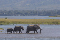 Elephants walking in water Royalty Free Stock Photo
