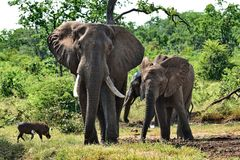 Elephants and Wart Hog near watering hole. royalty free stock photo