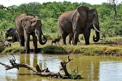 Elephants and Wart Hog near watering hole. stock images