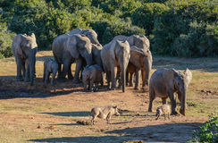 Elephants and Warthogs Stock Photography