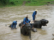 Elephants wash in Thailand Stock Images