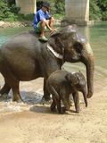 Elephants after wash, Thailand Stock Photography