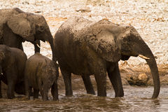Elephants in water Stock Photo