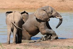 Elephants in Water royalty free stock image