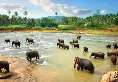 Elephants in water in the afternoon Royalty Free Stock Images