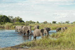 Elephants in water. Elephants coming out from water in the Okavango Delta in Botswana royalty free stock images