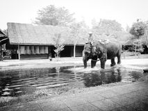 Elephants and water. Goto the water fun ready Royalty Free Stock Images