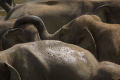 Elephants in water Stock Images