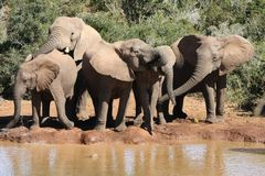 Elephants at Water Hole Stock Photo