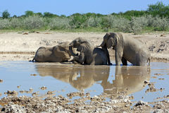 Elephants. In the water hole Stock Photos