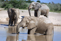 Elephants. In the water hole Stock Photography