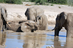 Elephants. In the water hole Royalty Free Stock Photo