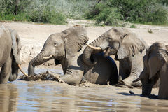 Elephants. In the water hole Royalty Free Stock Image