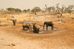 Elephants at water hole. Elephants drinking on a hot day at a savuti water hole in botswana Royalty Free Stock Photography