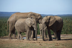Elephants at water hole. Royalty Free Stock Image