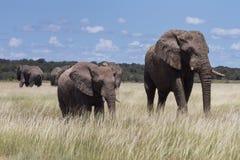 Elephants at a water hole. Etosha National Park, Namibia, Africa Royalty Free Stock Photography