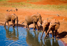 Elephants in water hole Royalty Free Stock Image