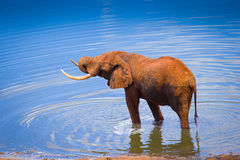 Elephants in water hole Royalty Free Stock Photos