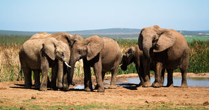 Elephants at a water hole. In south african national park Stock Photo
