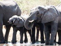 Elephants at water hole Royalty Free Stock Photo