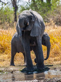 Elephants at water hole Stock Image