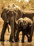 Elephants at water hole Royalty Free Stock Images