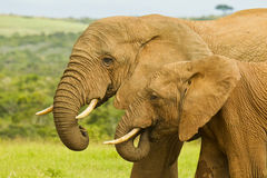 Elephants at a water hole Royalty Free Stock Photography