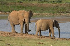 Elephants by the water-lock ll Stock Images