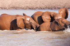 Elephants in Water royalty free stock images