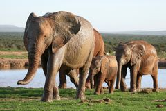 Elephants at Waterhole Stock Photo