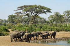 Elephants at Waterhole. A herd of wild elephants at a waterhole in Botswana, Africa Royalty Free Stock Images