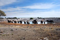 Elephants at waterhole Royalty Free Stock Photography