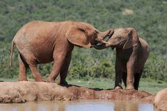 Elephants at a waterhole. African Elephants interacting with each other at a water hole on a hot day Royalty Free Stock Image
