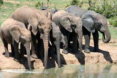 Elephants at a waterhole. African Elephants drinking water at a water hole on a hot day Stock Image