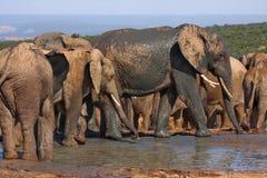 Elephants at a waterhole Stock Image