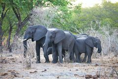 Elephants  at waterhole, in the Bwabwata National Park, Namibia Royalty Free Stock Photography