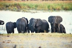 Elephants  at waterhole, in the Bwabwata National Park, Namibia Royalty Free Stock Image