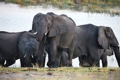 Elephants  at waterhole, in the Bwabwata National Park, Namibia Royalty Free Stock Images