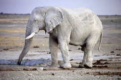 Elephants  at waterhole, Etosha, Namibia Stock Images