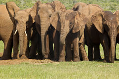 Elephants at a waterhole Stock Images