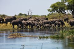 Elephants  at waterhole horseshoe, in the Bwabwata National Park, Namibia Royalty Free Stock Photography