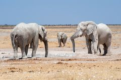 Elephants at waterhole namibia Stock Photos