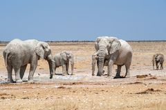 Elephants at waterhole namibia Royalty Free Stock Photo