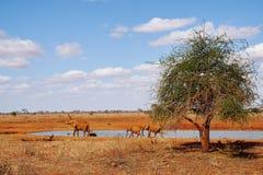 Elephants at the waterhole of Tsavo East Kenya Stock Photos