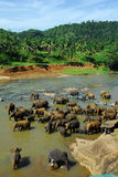 Elephants at the watering Royalty Free Stock Images