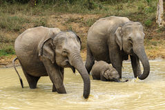 Elephants at the watering. Family of elephants came to drink Royalty Free Stock Photography