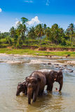 Elephants at the watering. Herd of elephants bathing in the river, Sri Lanka stock photo