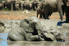 Elephants in watering hole. Two African calf elephants playing in watering hole with herd in background Stock Images