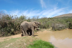 Elephants at watering hole Royalty Free Stock Image