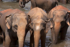 Elephants at watering hole. Elephants gathered at a watering hole for drinking and cooling in shallow water stock photo